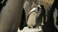 Jackass Penguins preening/grooming each other ,Spouth Africa Stock Footage