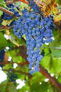 Bunches of blue ripe grapes Stock Photos