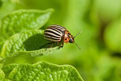 colorado beetle intends to fly from potato leaf - stock photo