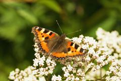 aglais urticae - butterfly - stock photo