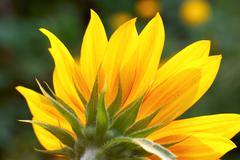 Stock Photo of sunflower