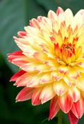 red-yellow flower - stock photo