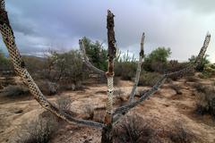 Dried Cholla Cactus Stock Photos