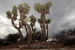 Giant Cholla Cactus - stock photo