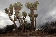 Stock Photo of Giant Cholla Cactus
