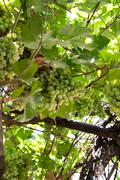 Grapes on the nature Stock Photos