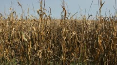 Stock Video Footage of Stock Footage HD 1080p - Drought - Corn Crop during drought in Iowa