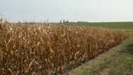 Stock Video Footage of Stock Footage - HD 1080p -  Drought - Corn Crop in Iowa