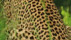 Leopard Male move up skin in Slow Motion GFHD Stock Footage