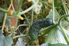 cucumber in nature - stock photo