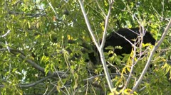 Coati Climbs Down Tree Stock Footage