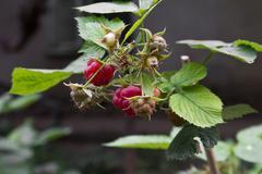 ripe raspberries on the nature - stock photo