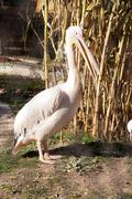 white pelican at the zoo - stock photo