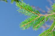 Stock Photo of conifer tree on the nature