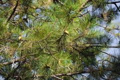 conifer tree on the nature - stock photo