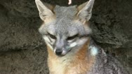 Grey Fox Close Up Stock Footage