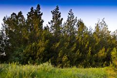 Stock Photo of beautiful coniferous trees in evening beams of the sun
