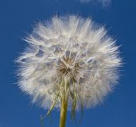 dandelion bud outdoors - stock photo