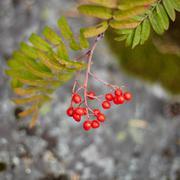 fruits of wild red mountain ash - stock photo