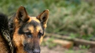 Stock Video Footage of German Shepard looking around