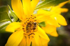 The bee on a sunflower collects honey Stock Photos