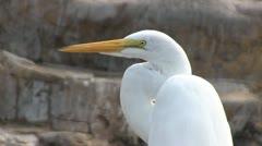 Great Egret Head Stock Footage