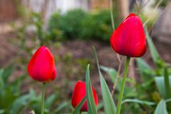 beautiful red tulips on the nature - stock photo