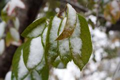 leaves in the snow on the nature - stock photo