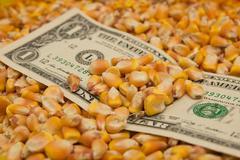 Stock Photo of dollars in corn