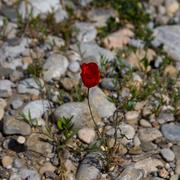 red poppies growing in the rocks - stock photo