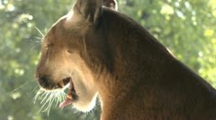 Mountain Lion Yawns Growls Slow Motion Stock Footage