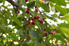 red cherries on the tree - stock photo