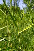 reed leaves in the background - stock photo