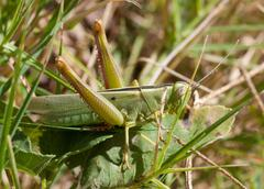 green grasshopper in the grass . macro - stock photo