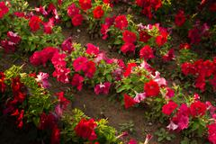 Beautiful red flowers in nature Stock Photos