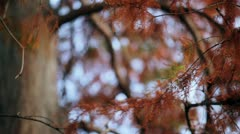 An autumnal red leafed tree Stock Footage
