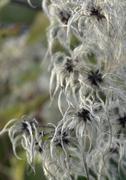 fluffy seed closeup - stock photo