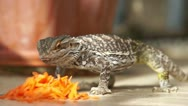 Stock Video Footage of Feeding the lizard