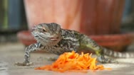 Lizard n Carrot Stock Footage