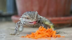 Lizard Feed on carrots - stock footage