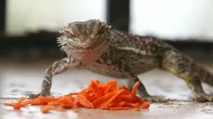 Lizard Dragon Eating Carrot Peels Stock Footage