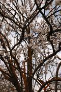 almond tree branches - stock photo