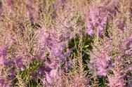 Pink calluna vulgaris flower Stock Photos