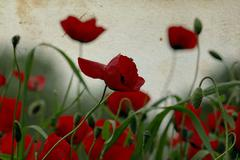 Poppy flowers on stained paper Stock Photos