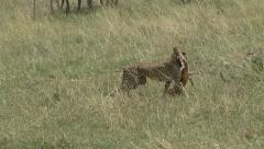 CHEETAH CARRIES KILL Stock Footage