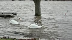 River Flood - two swans Stock Footage