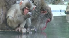 A baby monkey eats food while its mother is drinking from an onsen in Japan Stock Footage