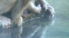 Little hands of snow monkey baby try to grab food from the onsen in Japan Stock Footage