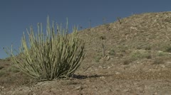 Richtersveld desert plant Stock Footage