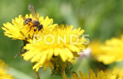 Stock photo of bee on yellow dandelion.JPG